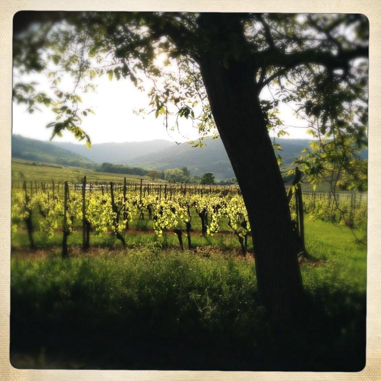 Hinter dem Campingplatz: Wein