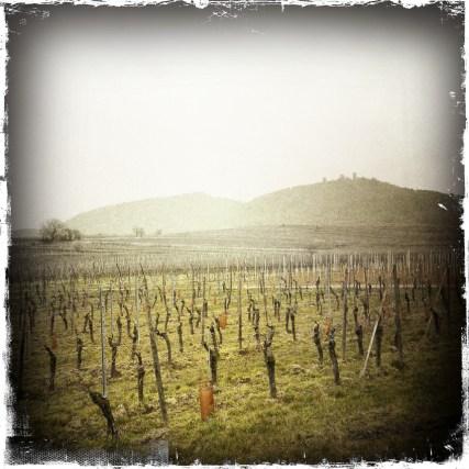Noch wächst nichts an den Weinreben in Eguisheim.