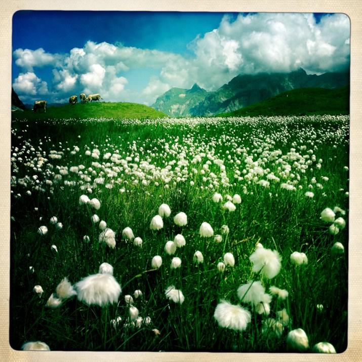 Kitschige Baumwollblümchen und Kühe kreuzen unseren Weg
