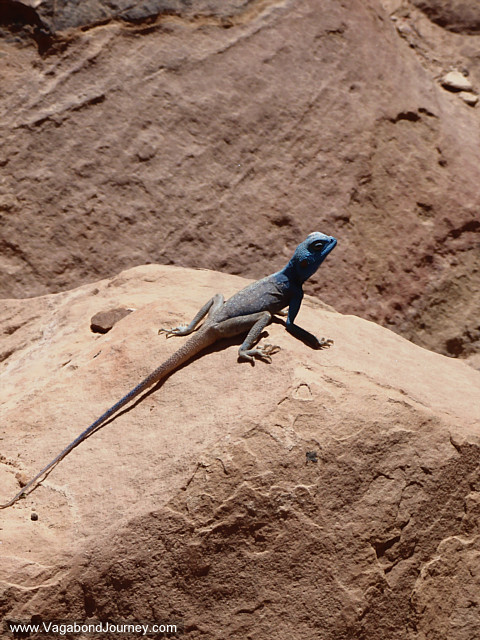 blue headed lizard