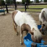 Colombian Pony