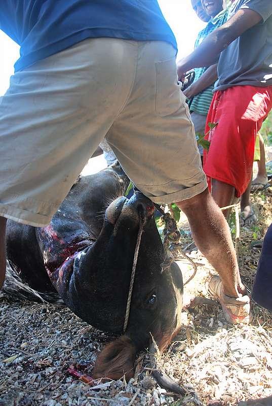 slaughtering animal in Fiji