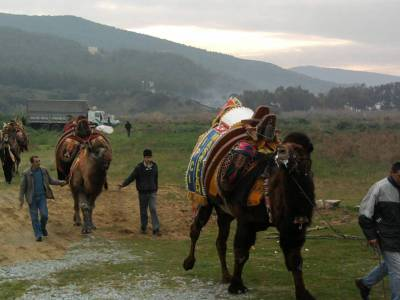 selcuk camel wrestling