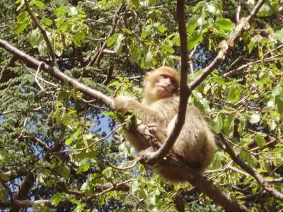 Barbary Macaques in Asrou