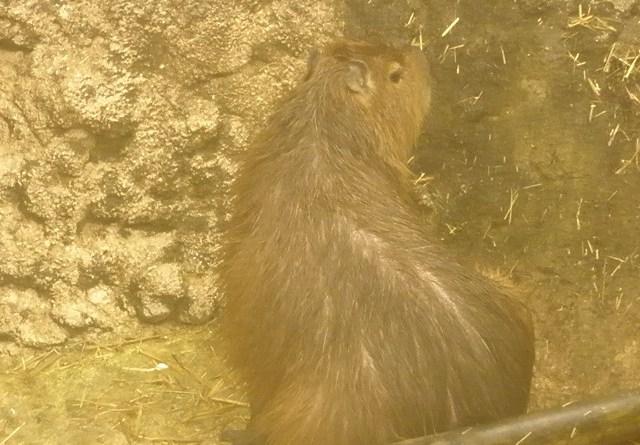 Capybara at Istanbul Aquarium