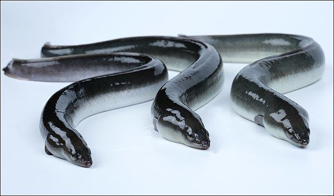 comaccio eels