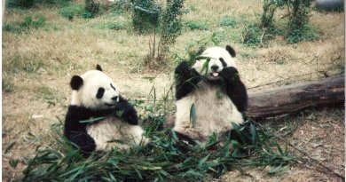 Happy Pandas in China
