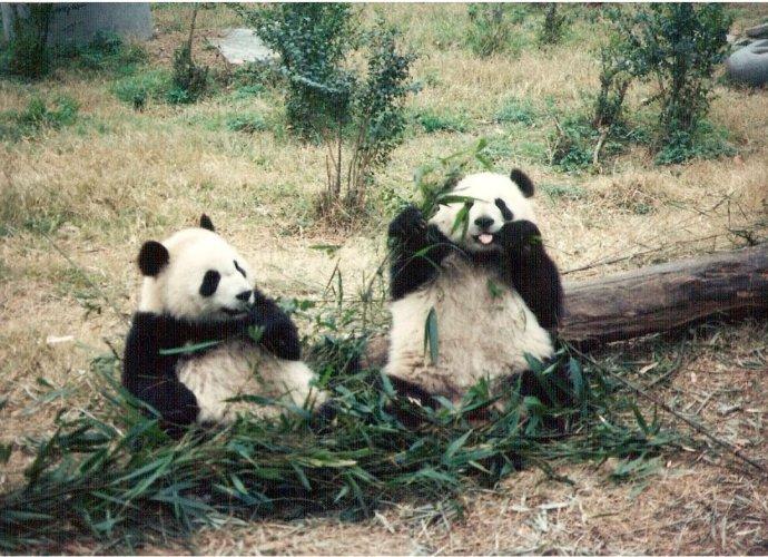 Happy Pandas in China