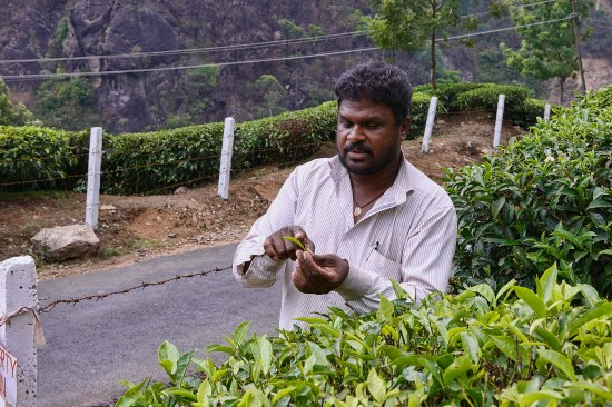 tea in Kerala, India