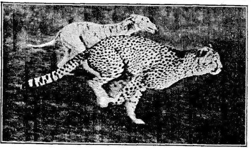 A cheetah racing a greyhound from contemporary press coverage of the events