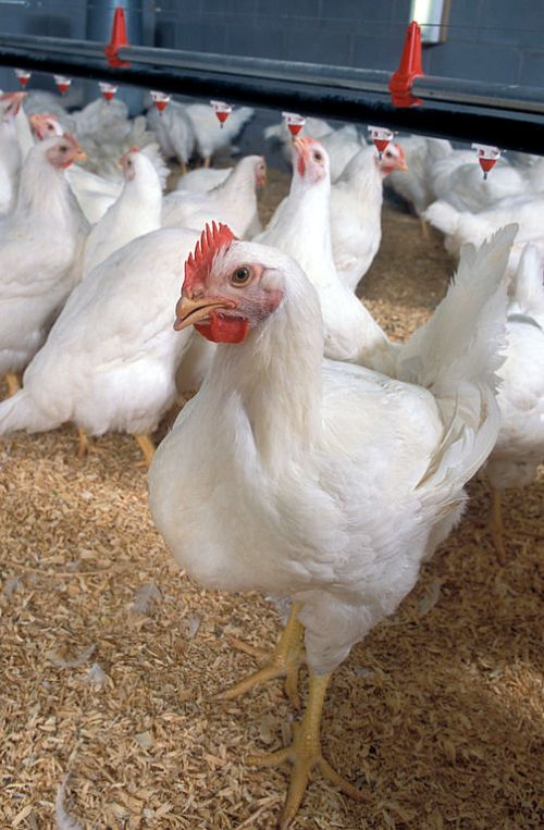 Broiler Chickens By U.S. Department of Agriculture (Poultry Classes Blog photo) [CC-BY-2.0 (http://creativecommons.org/licenses/by/2.0)], via Wikimedia Commons