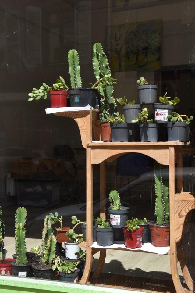 Les Euphorbes sont des plantes qui possèdent pour la plupart des inflorescences. Ce ne sont pas des cactus.