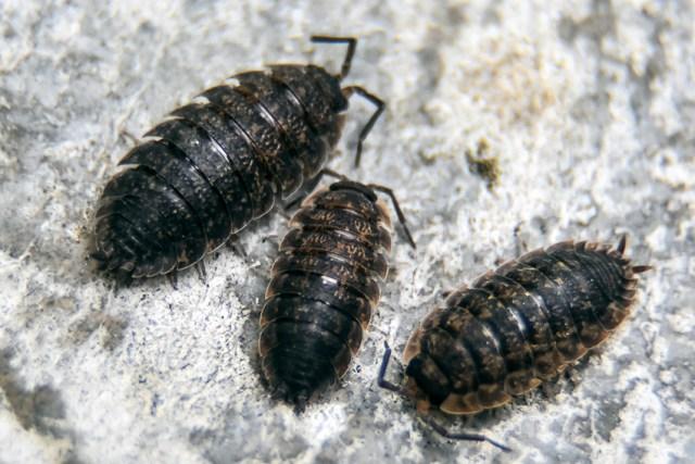 Les cloportes ne sont pas des Insectes. Ce ne sont pas des Acariens non plus. Ce sont des Crustacés terrestres. Dans le grand arbre généalogique des êtres vivants ils ont néanmoins en commun avec les insectes et les acariens de porter leur squelette sur le dos. Leur corps comporte trois parties: la tête avec des yeux et des antennes, un thorax composé de sept segments chacun équipé d'une paire de pattes, l'abdomen composé de cinq segments porte les organes reproducteurs et respiratoires.