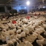 How Plumage Affects Breeder Productivity