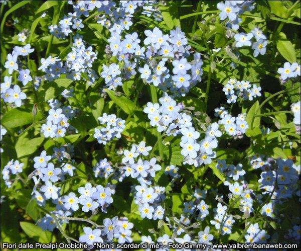 Flora Alpi Orobie