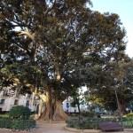 Cinco rutas para descubrir Valencia a través de sus árboles monumentales más emblemáticos