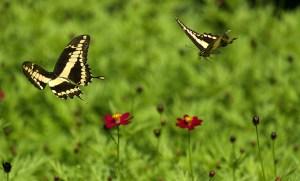 farfalle danzanti