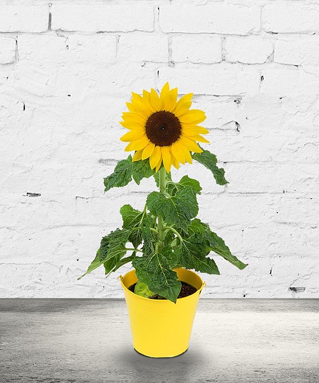 Sonnenblume im Topf und Belgische Pralinen  jetzt