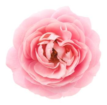 Rosen Und Ihre Bedeutung die farbe der rose und ihre