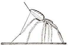 Figure montrant la position du araignée avant d'être emportée par son fil de traîne. Illustration tirée de James Henry Emerton (1883). The Structure and Habits of Spiders, S.E. Cassino, Publisher, Naturalist's Agency (Salem) : ix + 118 p.