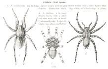 Sans doute l'un des premiers guides de terrain de reconnaissance des araigées. Planche tirée d'Edward Knobel (1901). The Spiders of the Northern States, Knight and Millet (Boston) : 54 p.