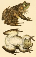 Grenouille léopard (Rana pipiens), planche tirée de John Edwards Holbrook (1842). North American Herpetology: Or, a Description of the Reptiles Inhabiting the United States. Vol. IV, J. Dobson (Philadelphie)