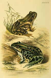 Illustration tirée de Mordecai Cubitt Cooke (1893). Our Reptiles and Batrachians: A Plain and Easy Account of the Lizards, Snakes, Newts, Toads, Frogs and Tortoises Indigenous to Great Britain, W.H. Allen and Co., Limited (Londres)