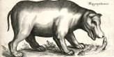 Hippopotame, planche tirée de Jan Jonston (1650). Historiae naturalis de quadrupedibus