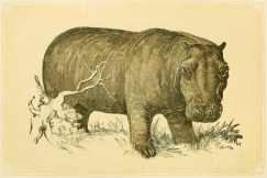 Illustration non signée tirée de William I. Bicknell (1800). Scripture Natural History and Guide to General Zoology. Vol. I, Biggs & Co. (Londres)