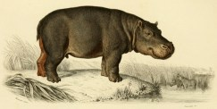 Planche tirée de Charles Dessalines d'Orbigny (1849). Dictionnaire universel d'histoire naturelle. Atlas. Zoologie. Tome premier, Renard, Martinet et Cie (Paris)