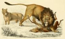 Charles Dessalines d'Orbigny (1849). Dictionnaire universel d'histoire naturelle. Atlas. Zoologie. Tome premier, Renard, Martinet et Cie (Paris)