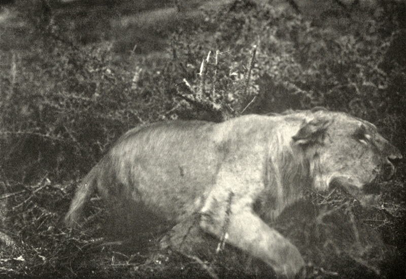 Photographie d'un lion par l'un des pionniers de la photographie animalière, Carl Georg Schillings (1865-1921) ; illustration extraite de son ouvrage de 1907, In Wildest Africa, Harper & Brothers (New York)