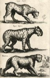 Lynx, tigre et panthère, planche tirée de Jan Jonston (1650). Historiae naturalis de quadrupedibus.