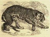 Illustration de William Harvey (1796-1866) tirée d'Edward Turner Bennett (1829). The Tower Menagerie: Comprising the Natural History of the Animals Contained in that Establishment; with Anecdotes of their Characters and History, Robert Jennings (Londres)