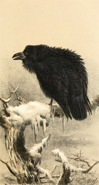 Corbeau, illustration tirée d'Arthur Edward Knox (1855). Ornithological Rambles in Sussex: with a Systematic Catalogue of the Birds of That County, and Remarks on their Local Distribution, J. Van Voorst (Londres)