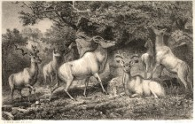 Grand koudou (Tragelaphus strepsiceros), illustration extraite de Charles John Andersson (1856). Lake Ngami, Or, Explorations and Discoveries During Four Years' Wanderings in the Wilds of South Western Africa, Hurst and Blackett, Publishers (Londres)