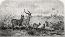 Antilopes, illustration tirée de l'édition américaine du récit de voyage du Dr Livingstone. David Livingstone (1858). Missionary Travels and Researches in South Africa; Including a Sketch of Sixteen Years' Residence in the Interior of Africa, and a Journey from the Cape of Good Hope to Loanda on the West Coast; Thence Across the Continent, Down the River Zambesi, to the Easter Ocean, Harper & Brothers (New York)