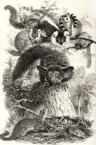 Les mammifères de Madagascar, illustration extraite de Philip Lutley Sclater (1864). The Mammals of Madagascar, The Quarterly Journal of Science, 1 (April 1864)