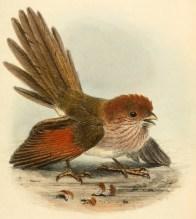 Paradoxornis de Webb (Paradoxornis webbianus), illustration extraite de la revue The Ibis (1866)