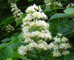 Chestnut 'candles' in springtime - usually white, sometimes pinky red