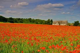 poppies xford
