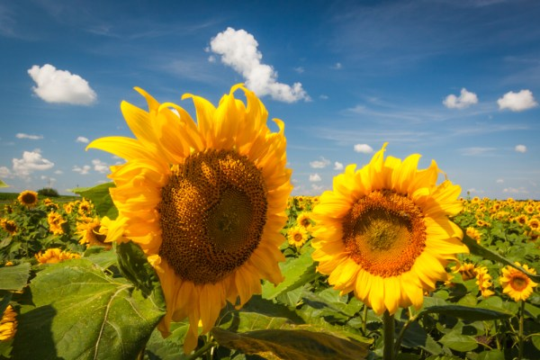 Couple sunflowers landscape Ukraine