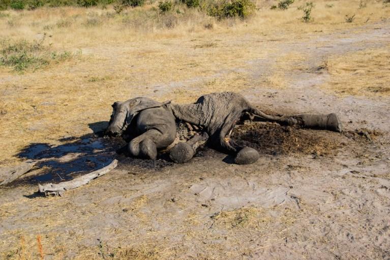 Elephant carcass