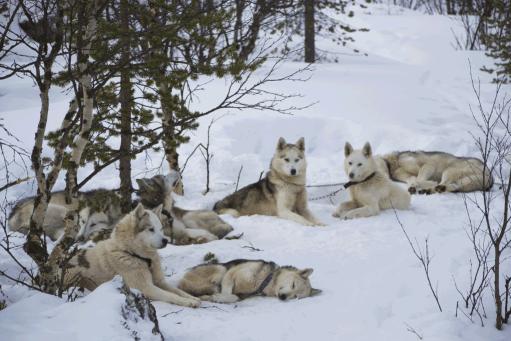 Huskies Finland