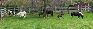 The Miniature Horses Class (Foals) of 2015 that have been sold at Valhalla Farm For Sale!