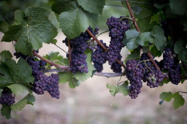Will wildfires affect the taste of Oregon's wines?