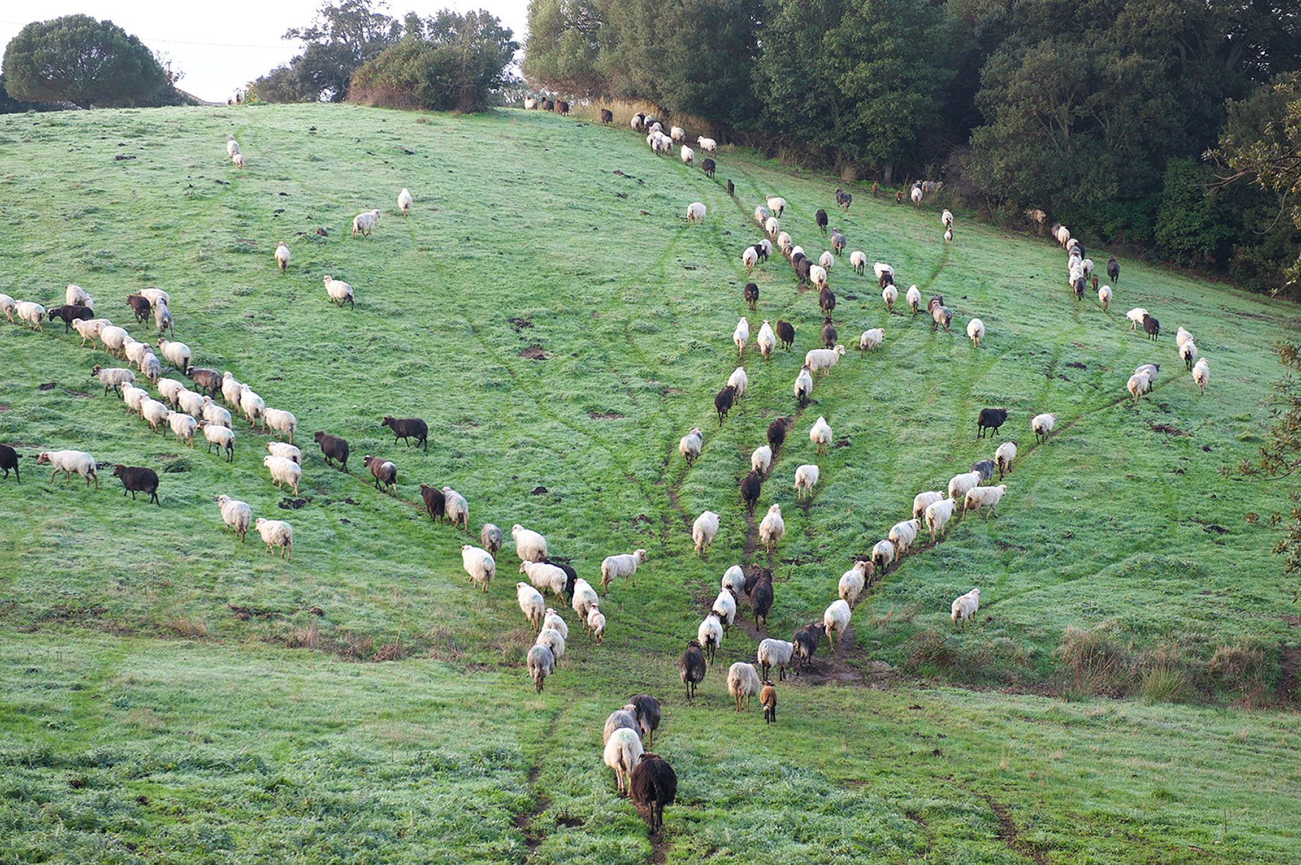 Le troupeau de brebis de Valicella quitte la ferme pour pâturer.