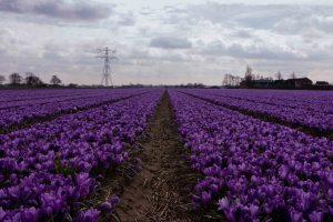 tulipano immagine