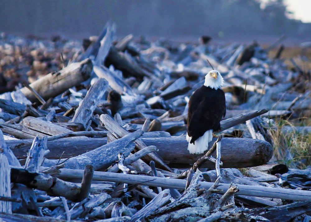 Washington Coast Road Trip - Whidbey Island Bald Eagle