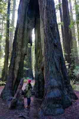 California Redwoods 7